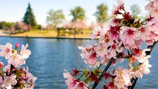 Cherry blossoms at Lake Balboa