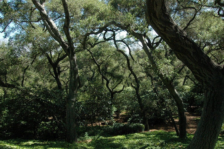 Oak Forest at Descanso Gardens